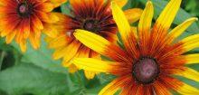 Promo interflora, de belles fleurs pour trois fois rien